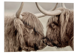 Stampa su schiuma dura  Highland Cattle, cows greeting each other - imageBROKER