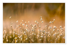 Poster Premium Common Cotton-grass backlit at dawn