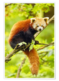 Poster Premium  Red Panda sitting in tree