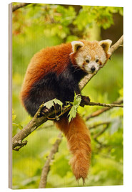 Legno  Red Panda sitting in tree - imageBROKER