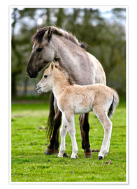 Poster Premium Dülmen pony, mother and foal