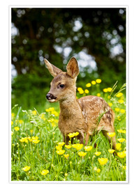Poster Premium  Roe Deer fawn in flower meadow, Normandy - Gérard Lacz