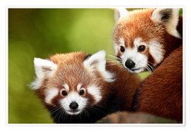 Gérard Lacz - Red Pandas