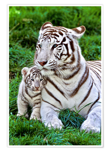 Poster Premium White Tiger, Mother with Cub