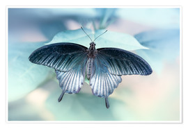 Poster Premium  swallowtail butterfly