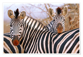 Poster Premium Zebra friendship, South Africa