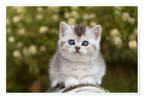 Poster Premium British Shorthair Kitten 15