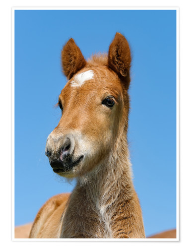 Poster Premium Cute Pony foal portrait in front of blue sky