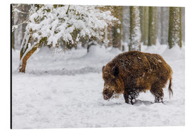 Alluminio Dibond  Boar in the snow - Moqui, Daniela Beyer