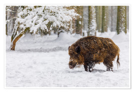 Poster  Boar in the snow - Moqui, Daniela Beyer