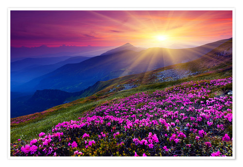 Poster Premium Rhododendron in the Carpathians