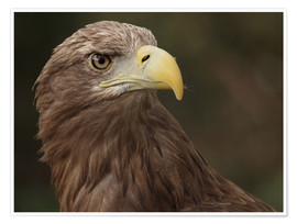 Poster Premium  Golden eagle