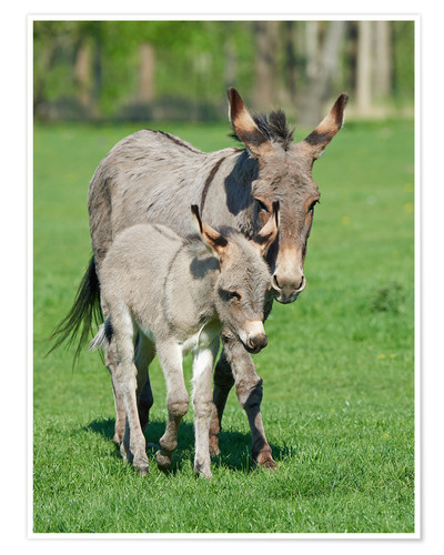 Poster Premium Donkey mum and her little baby