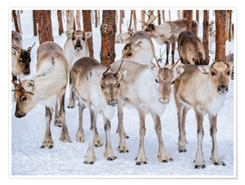 Poster Premium Reindeer in winter in Lapland