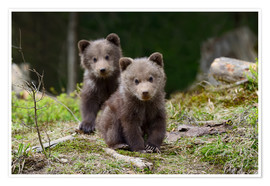 Poster Premium  Wild brown bear cub close-up