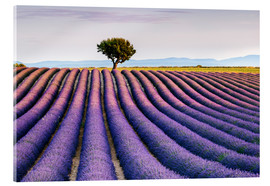 Vetro acrilico  Lavender field and tree at sunset, Provence - Matteo Colombo