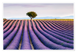 Poster Premium Lavender field and tree at sunset, Provence