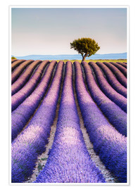 Poster Premium Tree in a lavender field, Provence