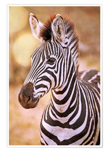Poster Premium Young Zebra, South Africa