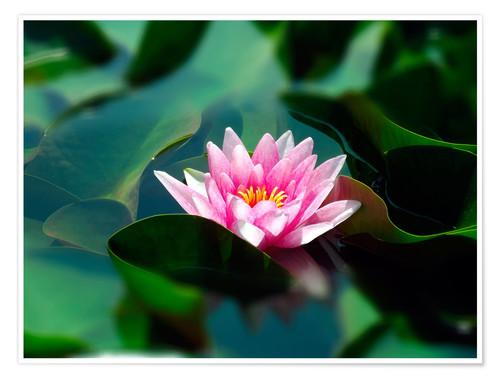 Poster Premium Summer water lily IV