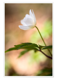 Poster Premium Wood anemone - blooming with soft background