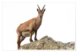 Poster Premium Ibex perched on rock isolated on white background