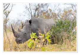 Poster Premium Rhino grazing in the bush, Kruger National Park, South Africa