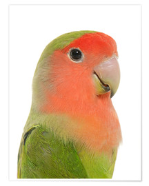 Poster Premium Cute peach-faced Lovebird