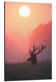 Alluminio Dibond  A male deer Stag at sunset - Alex Saberi