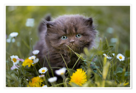 Poster Premium kitten on a meadow in summer