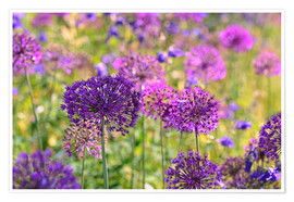 Poster Premium purple allium