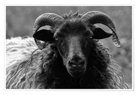 Poster  Grey Heidschnucke - Sheep - Martina Cross