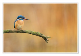 Poster Premium  Kingfisher in autumn - Dieter Meyrl