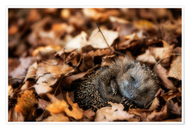 Poster Premium Sleeping baby hedgehog