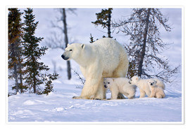 Poster  Mother polar bear with three cubs on the tundra, Wapusk National Park, Manitoba, Canada