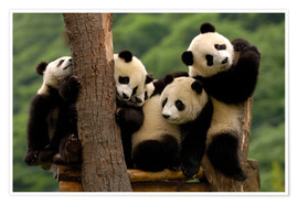 Giant Panda babies in Wolong China