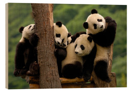 Legno  Giant Panda babies in Wolong China