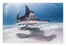 Poster Premium  Great Hammerhead Shark swimming near seabed - Cultura/Seb Oliver