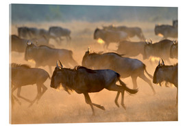 Stampa su vetro acrilico  Wildebeests during the great migration, Serengeti - age fotostock