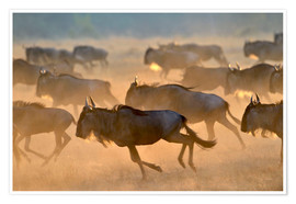 Poster Premium  Wildebeests during the great migration, Serengeti - age fotostock
