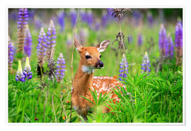 Poster  United States, Minnesota, White tailed Deer (Odocoileus virginianus), baby, in a meadow with lupins
