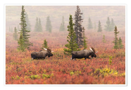 Poster Premium  Elks wander through the taiga - Alaska Stock
