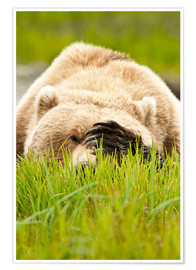 Poster Premium Brown bear with paw on his head