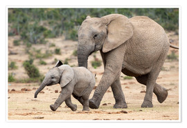 Poster Premium  African elephant and calf