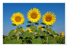 Poster  Common Sunflowers (Helianthus annuus) - Radius Images