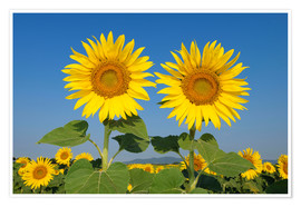 Poster Premium Two sunflowers