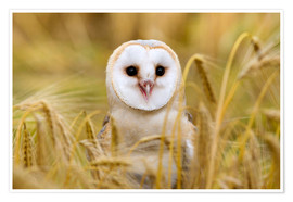 Poster  Barn owl in the cornfield