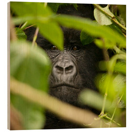 John Warburton-Lee - A silverback gorilla in the undergrowth