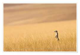 Janet Muir - Hoarusib Valley, Namibia. Africa. A Meerkat stands tall in the prarie grass.