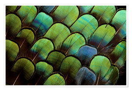 Poster  Green pheasant feathers - Darrell Gulin